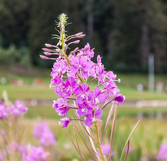 Flor cerca de la frontera franco-suiza