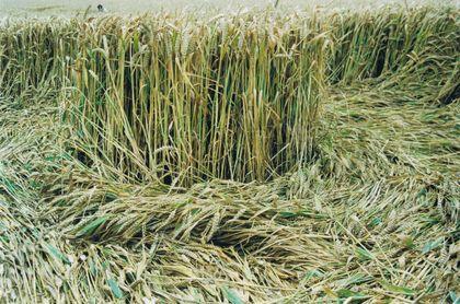 Los dibujos están definidos por la posición de las plantas que aparecen dobladas y acostadas sobre sobre el suelo, a menudo con múltiples capas.