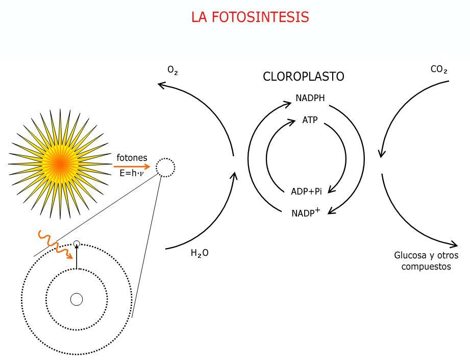 esquema de la fotosintesis